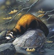 Beaver on a rock