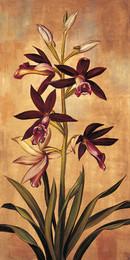 Burgund Orchidea