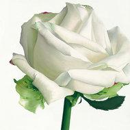 Biała róża I