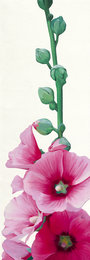 Pink Hollyhock II