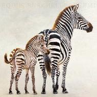 Zebra i jej małe - Ndutu