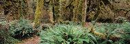 Las deszczowy, wybrzeże Pacyfiku -  Vancouver