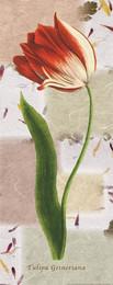 Tulipan IV