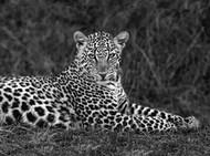Portret leoparda